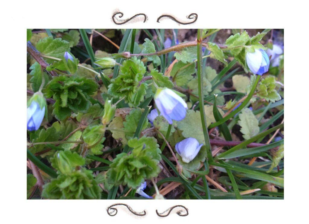 wild herbs speedwell yarrow dandelion